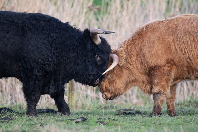Highland cattle lock horns at the National Trust's Wicken Fen Nature Reserve in Cambridgeshire