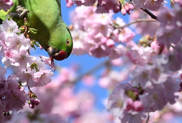 A parakeet eats a cherry blossom in St. James's Park, London, Britain