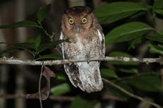 Two new species of 'critically endangered' owl discovered in Amazon rainforest