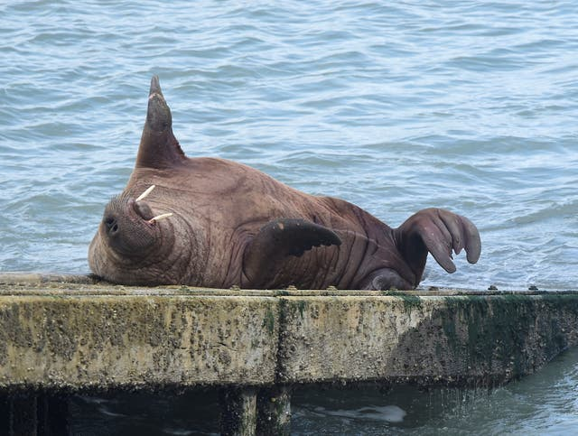 A walrus sleeps on the slipway of Tenby Lifeboat station at Tenby, Wales