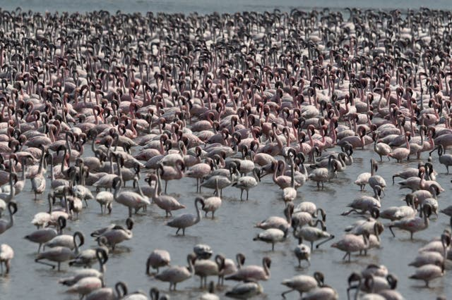 Flocks of flamingos are pictured in a pond in Navi Mumbai