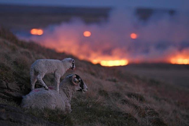 Sheep climb the hillside as flames from a moor fire are seen on Marsden moor, near Huddersfield