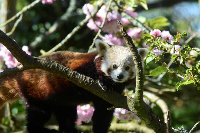 A red panda rests on a tree at Manor Wildlife park, which reopened its doors as lockdown restrictions continue to ease, in Tenby, Wales