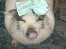 Emotional support pig dies in abandoned stolen vehicle in Texas