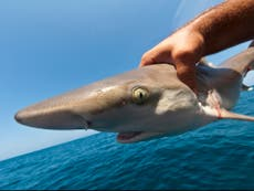 Thousands of sharks 'illegally caught by undetected fishing boats' in protected British waters