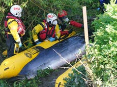 Thames whale: Injured minke calf dies after rescue attempt