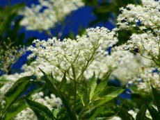 'Fresh, floral, and slightly tropical': Easy tips and delicious recipes for foraging elderflower