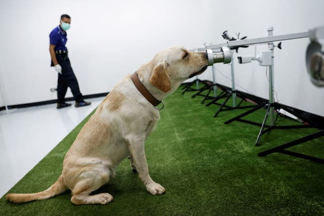 A dog that has been trained to sniff out the coronavirus disease, screens a sweat sample at Chulalongkorn University, in Bangkok, Thailand