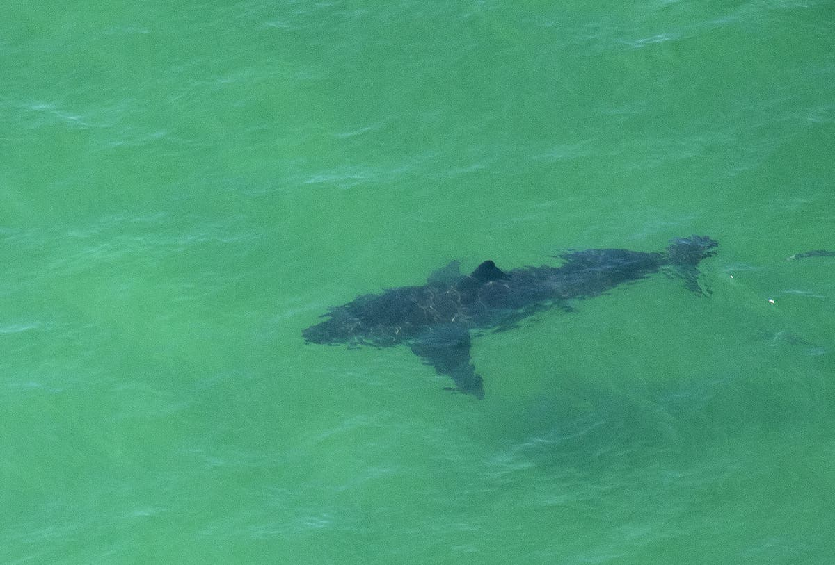 Great white shark population off coast of California increased over last 10 years, study finds