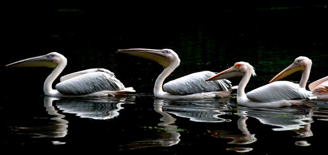 White Pelicans in the sunshine in St James's Park, London