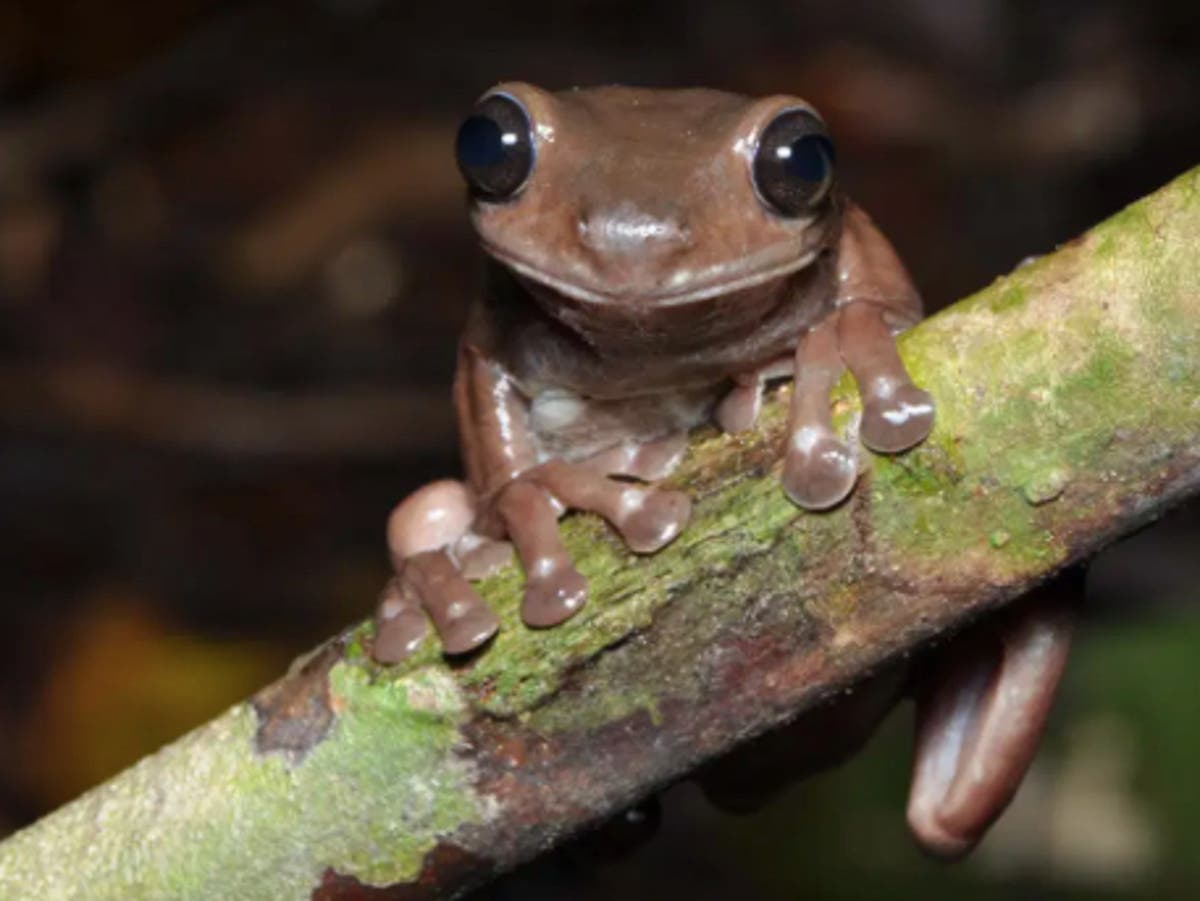 New 'chocolate frog' discovered in New Guinea jungle