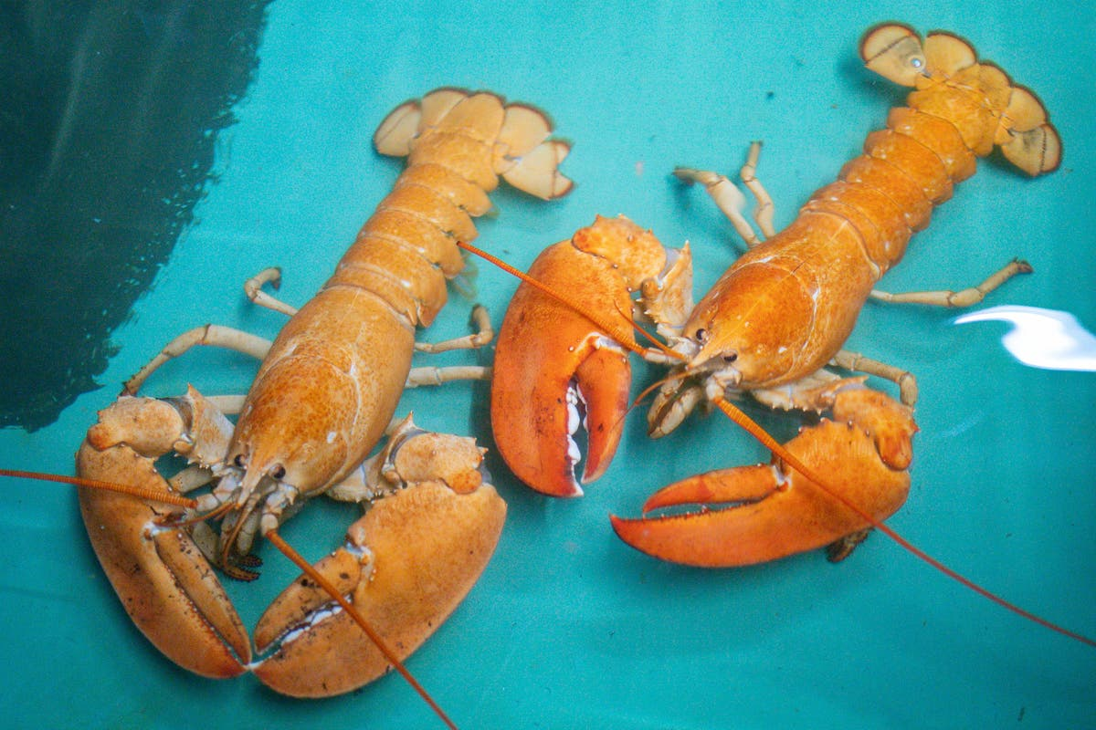 Rare orange lobsters saved from fishmongers rehomed at aquarium