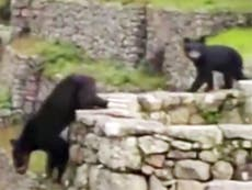 Watch: Rare Andean bears spotted near the Machu Picchu citadel in Peru