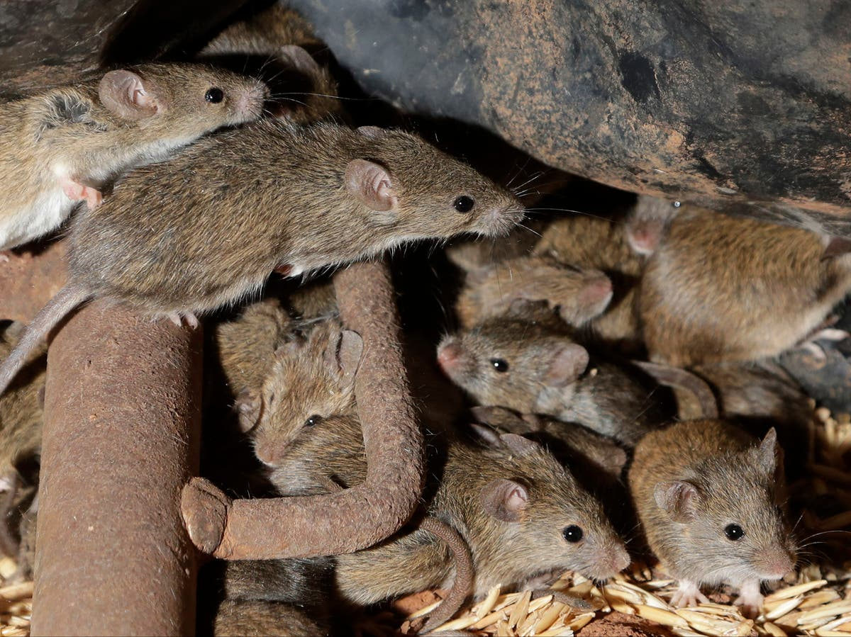 Fears Australia's mouse plague 'napalm' could kill native fish and enter food chain