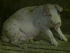 Supermarkets suspend farm where workers kicked pigs and dying animals left to rot among living