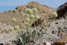 Federal agency: Nevada flower near mine should be protected