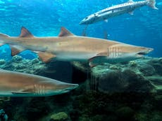 Mysterious event wiped out 70 per cent of world's sharks 19 million years ago