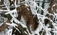 Missing Kashmiri girl, 4, found mauled to death by leopard in India