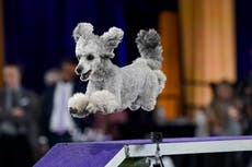 You will love these excellent photos from the Westminster Dog Show in New York