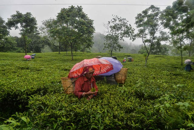 Workers pluck tea leaves during a rainfall following a relaxation of lockdown restrictions imposed to curb the spread of the Covid-19 coronavirus, at Rohini village, noen 15 km from Siliguri on June 14, 2021