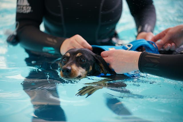 Hydrotherapists with Dixie, a seven-year-old Dachshund who is being treated for back problems common with the breed, in the hydrotherapy pool during a facility at Battersea Dogs and Cats Home's in Battersea, Londres, to view their new hydrotherapy centre