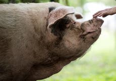China mourns heroic 'Strong-Willed Pig' that survived earthquake after it dies of old age