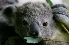 Australia could list east coast koalas as endangered