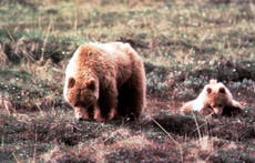 Missing hiker found alive two days after being charged by bears in Alaska