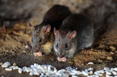 Critical patient bitten by rat near his eye at Indian hospital dies
