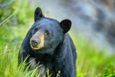 Bears, insects and rattlesnakes invading populated parts of California because of drought