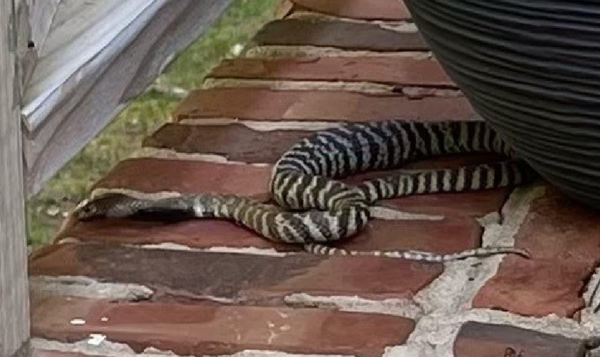 Spitting cobra on the loose in North Carolina neighbourhood