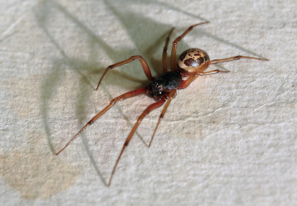 Students forced to stay home after suspected False Black Widow outbreak