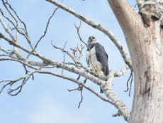 Deforestation causing young of world's largest eagle to starve, studie sier
