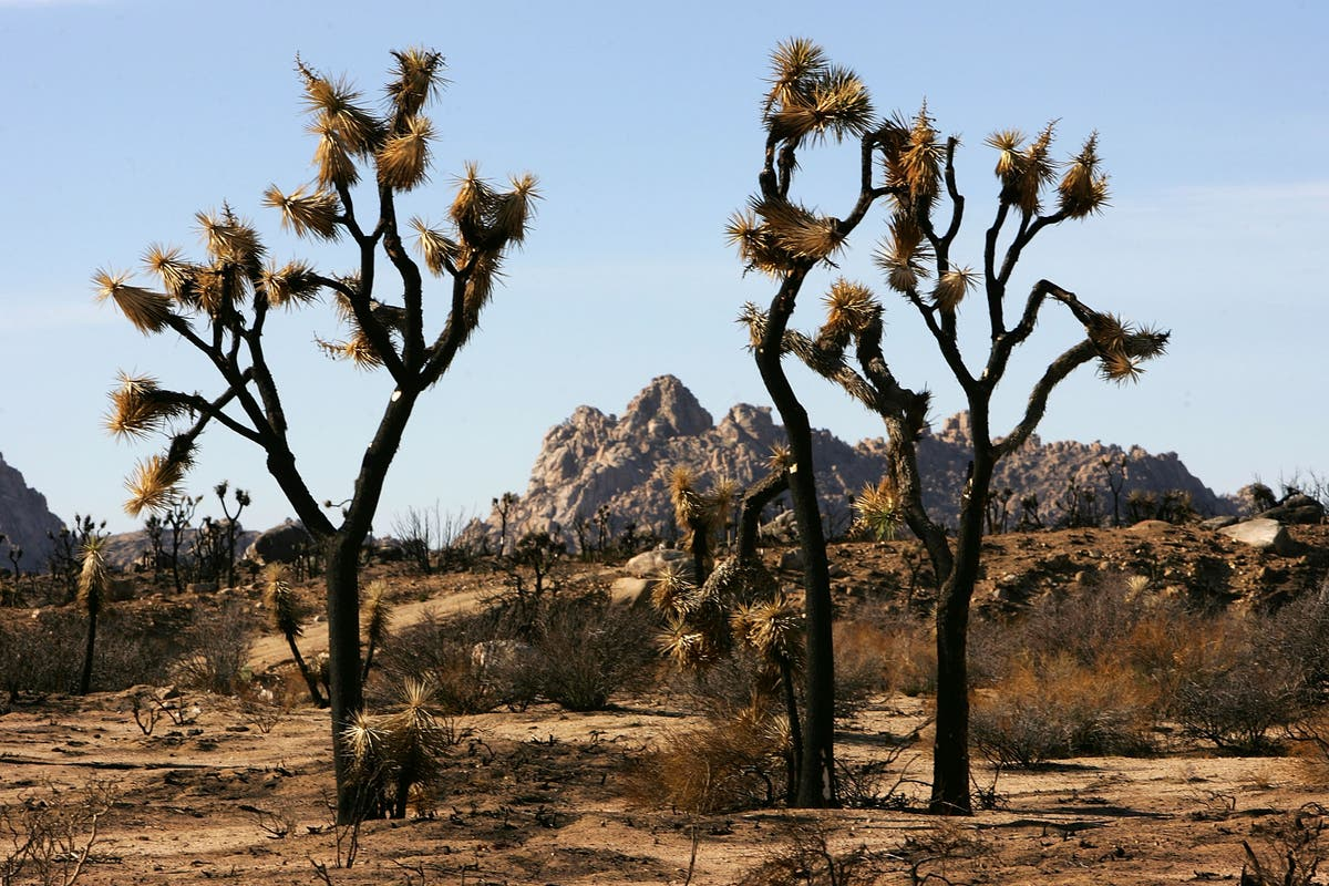 Couple caught burying protected Joshua trees to build home