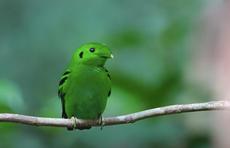 Pulau Ubin: Green broadbill bird declared 'extinct' decades ago is spotted in Singapore