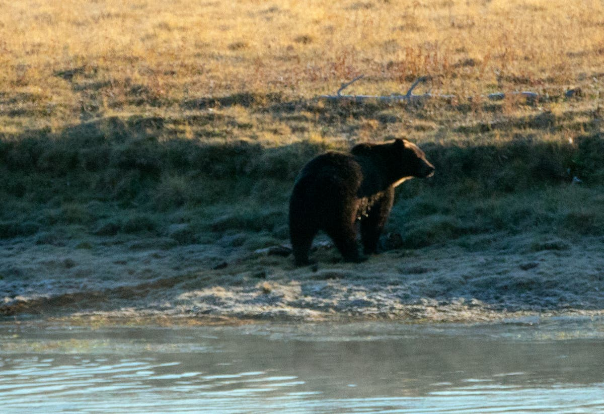 Grizzly bear found beheaded and declawed in Yellowstone