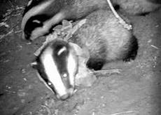 Badger cub dies after being 'strangled by plastic necklace'