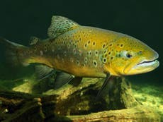 Fish are 'getting addicted to meth' flushed into rivers, study warns