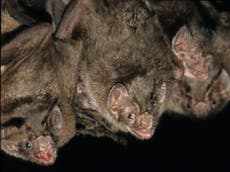 Fairer sex: Colonies of female-only vampire bats live in equal societies