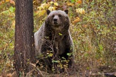 Grizzly bear kills woman in Montana after pulling her out of her tent