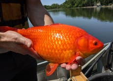 Football-sized goldfish take over lake after decades of people dumping unwanted pet fish