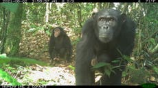 First lethal attacks by chimpanzees on gorillas in the wild observed