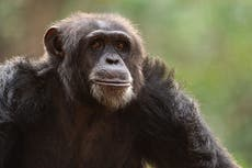 International Chimpanzee Day – where to see and support them in Africa
