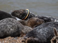 Seal freed from plastic ring around its head released back into wild