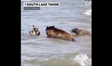 Bear bring cubs to busy California beach during heatwave