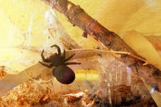 Drug made with deadly spider venom could help repair heart attack damage, study finds
