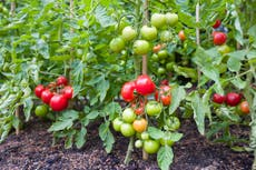 UK tomato and cucumber farmers shut down production over energy crisis and labour shortages