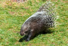 Maine police officers get jail time for beating porcupines to death while on-duty