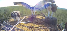 Milestone for bird of prey as record number of ospreys seen in forest