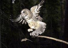 Biden administration proposes restoring northern spotted owls' habitat